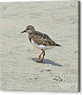 Ruddy Turnstone Wading Bird - Arenaria Interpres Acrylic Print