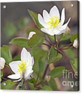 Rue Anemone Wildflower - Pale Pink - Thalictrum Thalictroides Acrylic Print