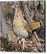 Ruffed Grouse On Mossy Log Acrylic Print