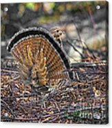 Ruffed Grouse Rear Strut Acrylic Print