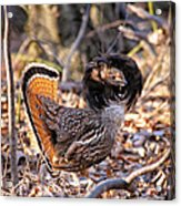 Ruffed Grouse Ruffed Up Acrylic Print