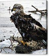 Ruffled Feathers Acrylic Print