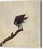 Ruffled Up Osprey Acrylic Print