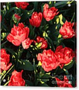 Ruffly Red Tulips Square Acrylic Print