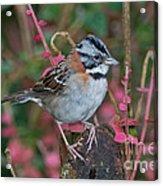 Rufous-collared Sparrow Acrylic Print