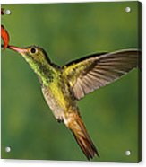 Rufous Hummingbird Feeding Acrylic Print
