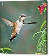Rufous Hummingbird Female At Monkey Acrylic Print
