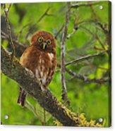 Rufous Morph Costa Rican Pygmy-owl Acrylic Print by Tony Beck