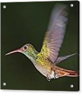 Rufous-tailed Hummingbird Acrylic Print