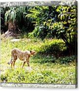 Run Cheetah Run 0 To 60 In 3 Seconds Acrylic Print