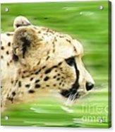 Run Cheetah Run Acrylic Print