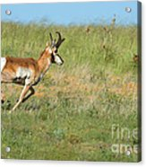 Run  Light Buck  Run Acrylic Print
