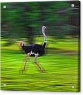 Run Ostrich Acrylic Print