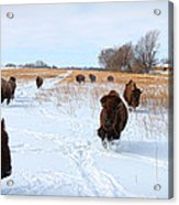 Running Buffalo Acrylic Print