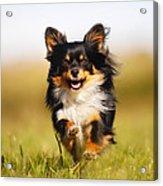 Running Chihuahua Acrylic Print
