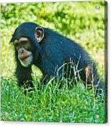 Running Chimp Acrylic Print