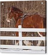 Running Clydesdale Acrylic Print