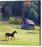 Running Horse And Old Barn Acrylic Print
