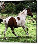 Running Pinto Horse Acrylic Print