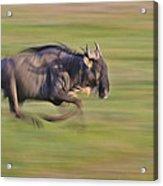 Running Wildebeest IIi Acrylic Print