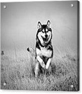 Running Wolf Acrylic Print