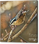 Runway Clear For Takeoff   Redbreasted Nuthatch Acrylic Print