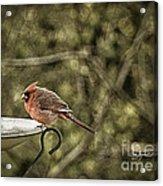 Rustic Cardinal Acrylic Print