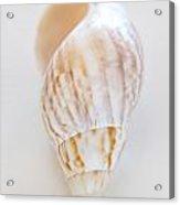 Rusty Dove Shell Acrylic Print