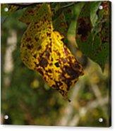 Rusty Leaf Acrylic Print