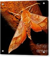 Rusty Sphinx Moth Acrylic Print