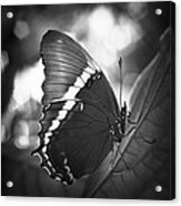 Rusty Tip Butterfly Black And White Acrylic Print