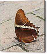 Rusty Tipped Page Butterfly Acrylic Print
