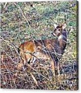 Rutting Buck Acrylic Print