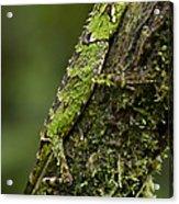 Sabah Eyebrow Lizard Mt Kinabalu Np Acrylic Print by Ch'ien Lee