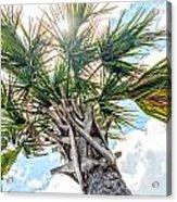 Sabal Palmetto Acrylic Print