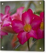 Sabi Star - Desert Rose Garden Of Dreams Hawaii Acrylic Print