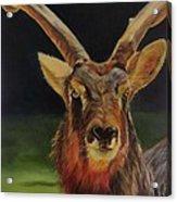 Sable Antelope Acrylic Print