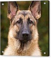 Sable German Shepherd Dog Acrylic Print