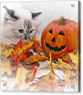 Sacred Cat Of Burma Halloween Acrylic Print