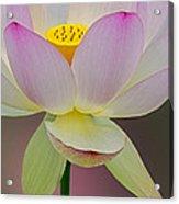 Sacred Lotus Blossom Acrylic Print