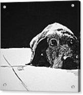 Sad Dog Acrylic Print