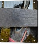 Sad Donkey Acrylic Print