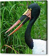 Saddle Billed Stork-00139 Acrylic Print