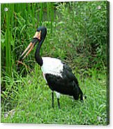 Saddle Billed Stork-136 Acrylic Print