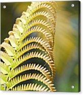 Sadleria Cyatheoides Amau Fern Maui Hawaii Acrylic Print