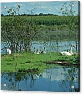 Safe In The Pond Acrylic Print