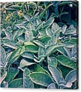 Sage In The Garden Acrylic Print