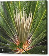 Sago Palm In Bloom Acrylic Print by Rebecca Cearley