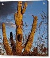 Saguaro 2 Acrylic Print