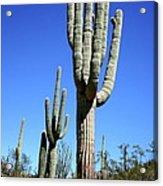Saguaro At The Saguaro National Park Acrylic Print